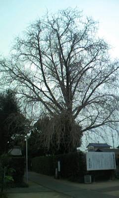 葉っぱのすっかり落ちてしまったイチョウの木
