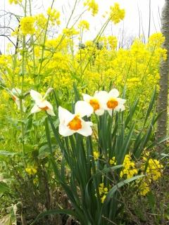 水仙と菜の花の写真